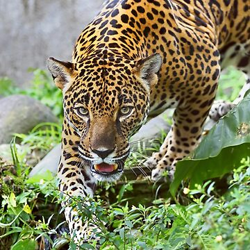 Stalking Jaguar - Costa Rica by darby8