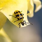 Bug on a Flower (Spotted Cucumber Beetle) by TJ Baccari Photography