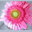 pink Gerbera textured by lensbaby