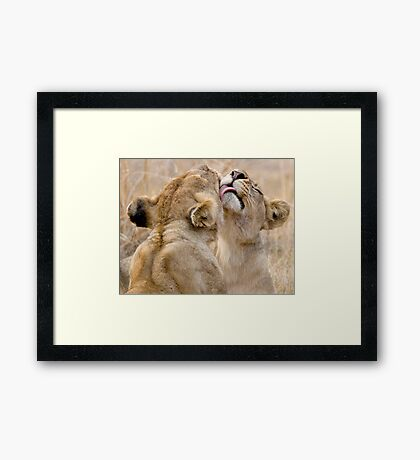 Lionesses Grooming Framed Print