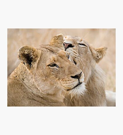Lionesses Telling Secrets Photographic Print