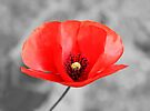 Poppy Love by Evelina Kremsdorf