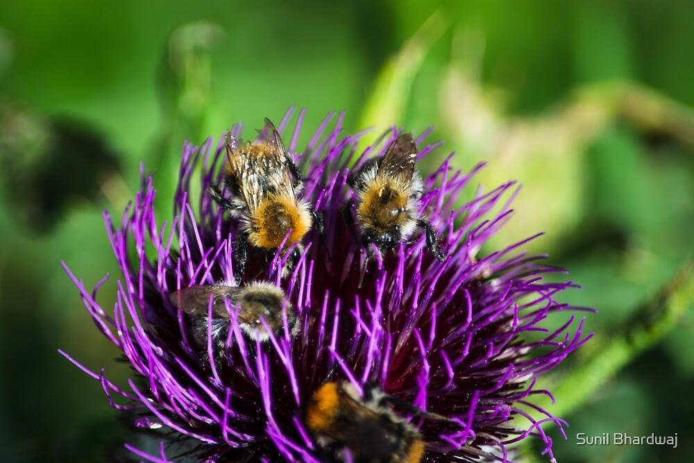 Honeybees on flowers by Sunil Bhardwaj