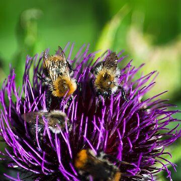 Honeybees on flowers by sunilbhar
