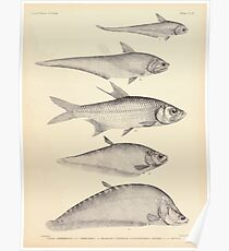 The fishes of India by Francis Day 159 - Achillea Chitala Megalops cundinga Notopterus kapirat Poster