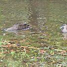 Visiting Ducks by Margaret Stevens