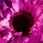 Gorgeous Pink Sunflower Macro by hurmerinta