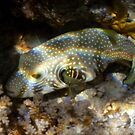 Red Sea Whitespotted Pufferfish  by hurmerinta