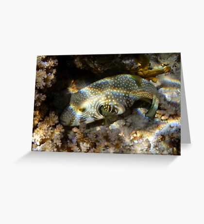 Red Sea Whitespotted Pufferfish  Greeting Card