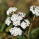 « Fleurs blanches » par HawaiianSurfer