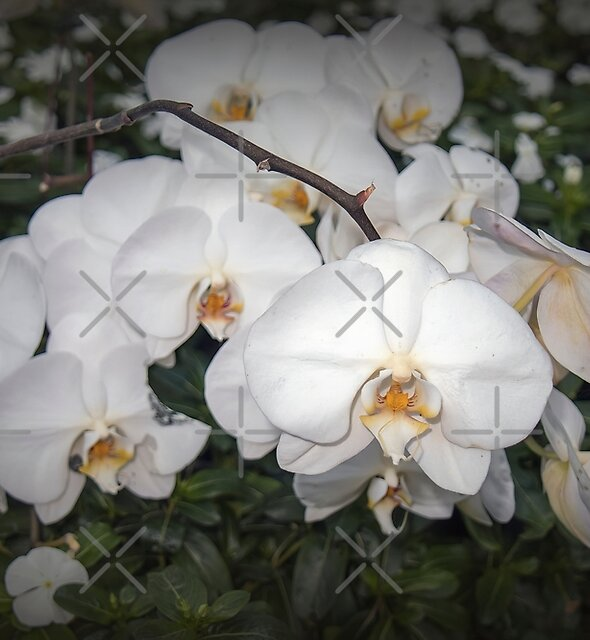 White Orchids by Elaine Teague