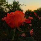 Rose Landscape  by OliviaHathaway