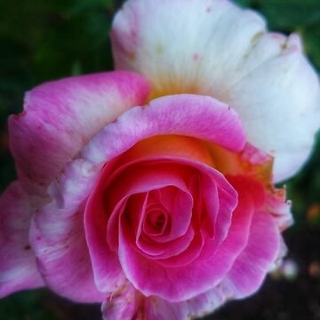 Spiral Rose  by OliviaHathaway