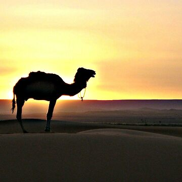 Twilight in the desert with silhouette of a camel by virginia50