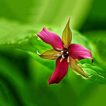 Spring Trillium by kdxweaver