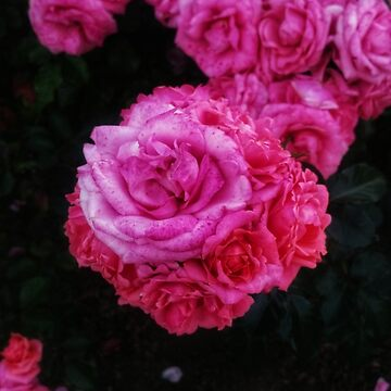 Bunches of Roses (Close Up) by OliviaHathaway