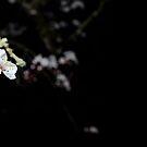 Shiroi Sakura by Lisa Knechtel