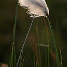Welsh cotton grass by Anthony Thomas
