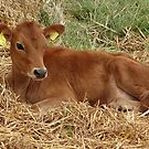 Calf lying down by frogs123