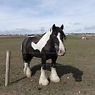 Shire horse by frogs123