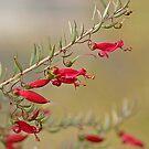 Red Eremophila by robynart