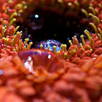 Iridescent Water Drops on a Gerber Daisy Heart by LisaKnechtel