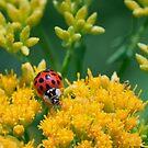 Grazing Ladybird by David Lamb