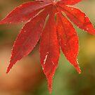 Red leaf by mistyrose