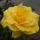 Yellow Rose in the rain by Michael Matthews