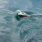 Disturbing the Silk - Long Tailed Duck Emerging from a Dive by Georgia Mizuleva