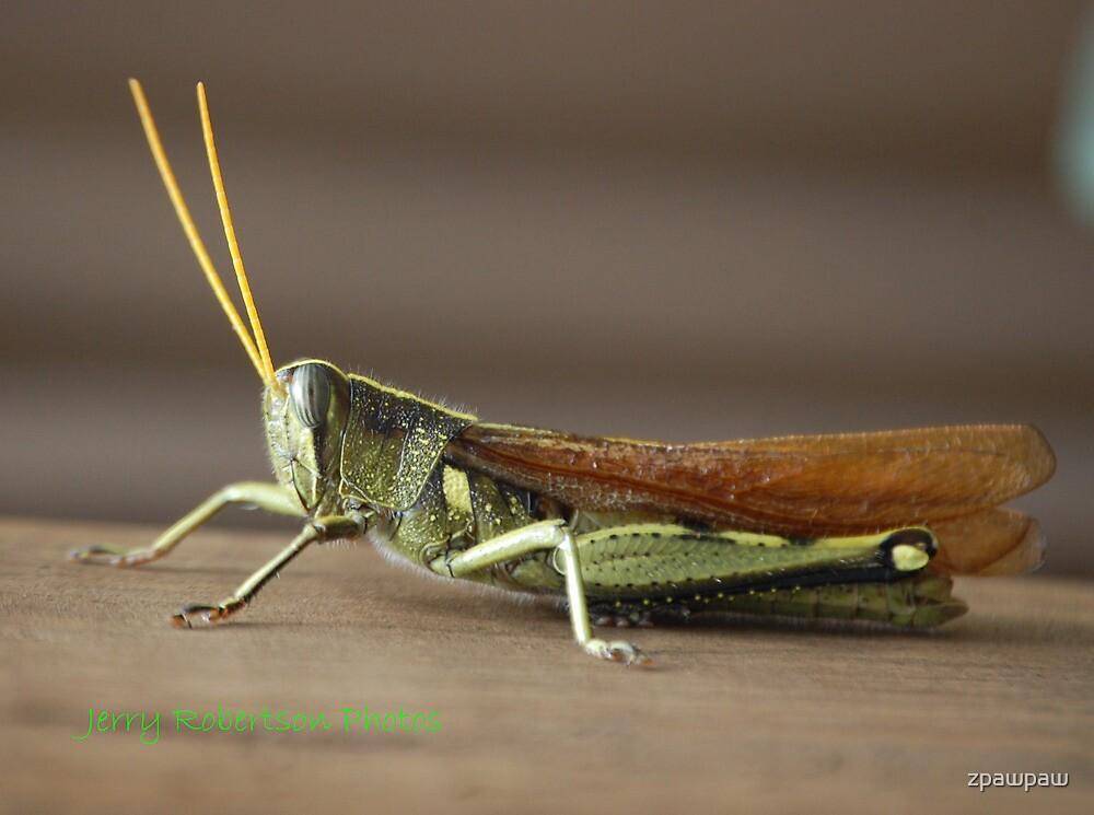 A Grasshopper by zpawpaw