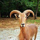 Barbary Sheep by Cynthia48