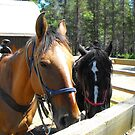 Pick me!. . .Waiting for trail riders at Glacier National Park by Susan Russell