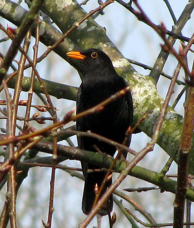 Blackbird by Caroline Anderson