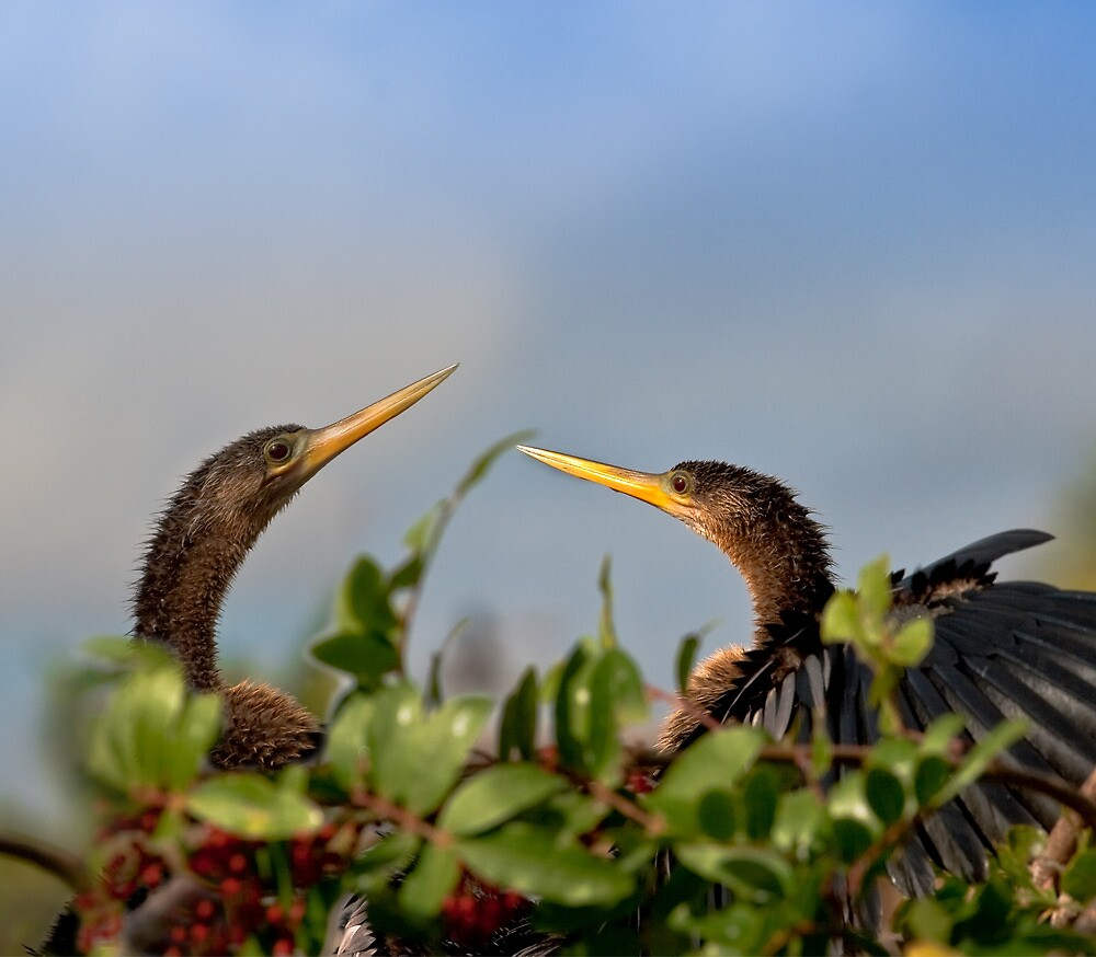 Pair of Mating Anhingas by Delores Knowles