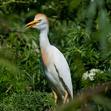 Cattle Egret by DeloresKnowles
