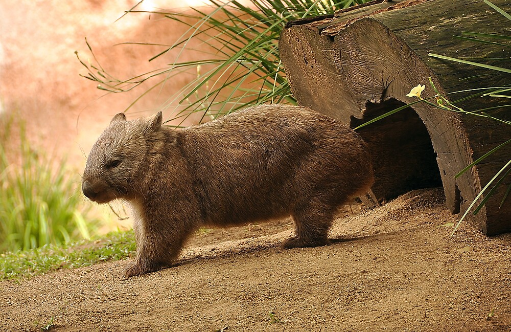 Standing wombat by Booba123
