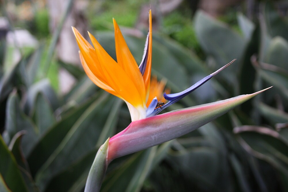 Bird of Paradise by mgramley
