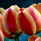 Tulips by Ronda Sliter