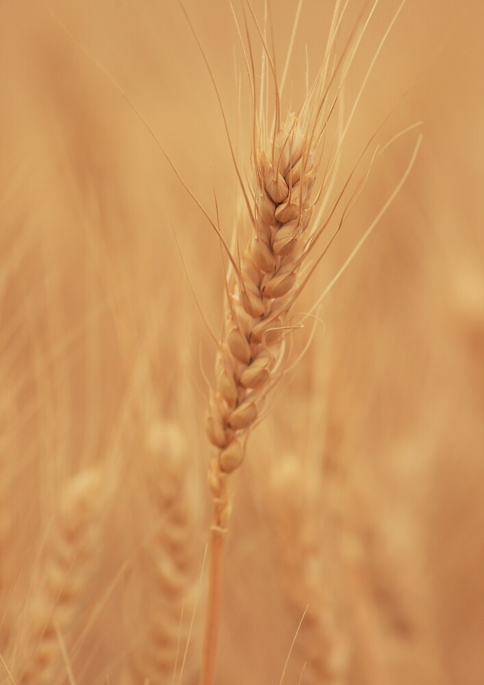 Harvest The Gold by Ronda Sliter