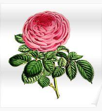 Rose Madame George Schwartz Poster