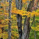 Woodland Scene, Algonquin by Nancy Barrett