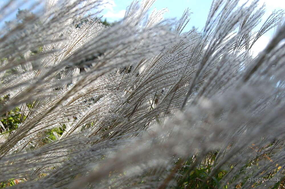 grasses in light wind one august evening by geyerwally