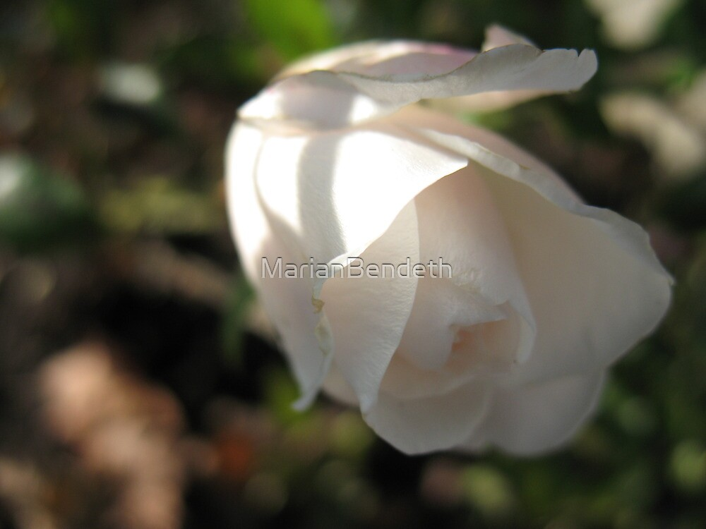 Angel Light on Angel White Rose by MarianBendeth