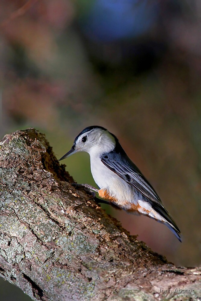 White Breasted Nuthatch by John Absher