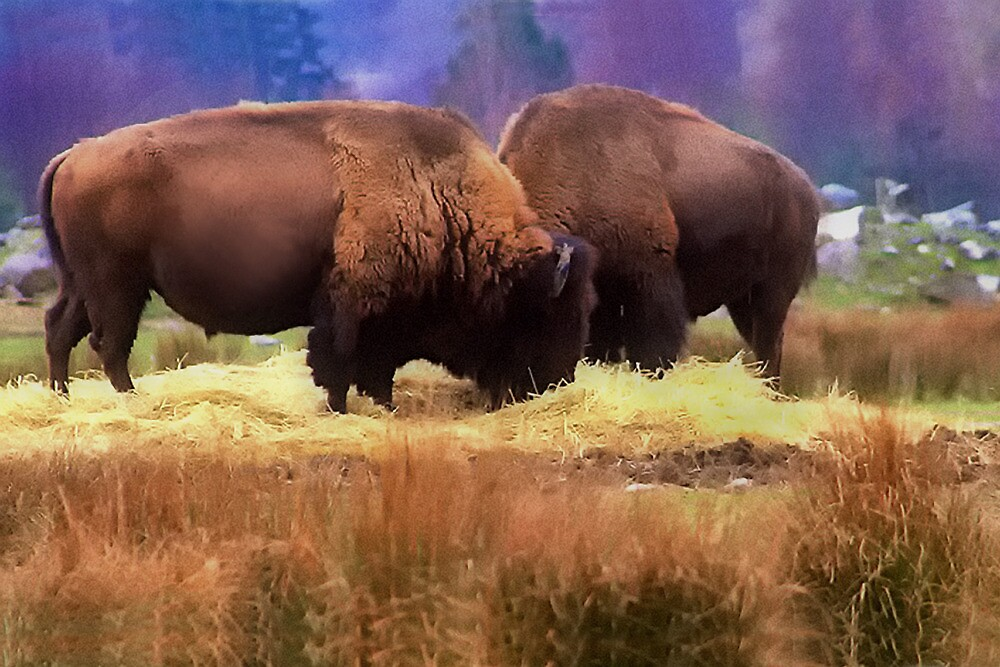 Where The Buffalo Roam by TeresaB