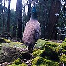 Peacock by C J Lewis
