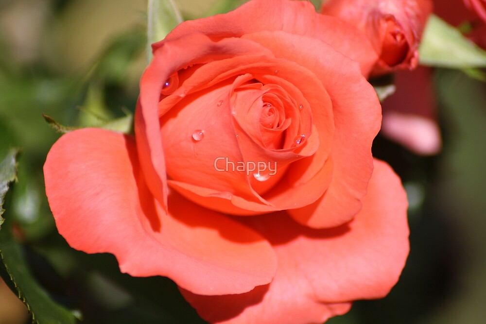 Bubbles on a Rose by Chappy