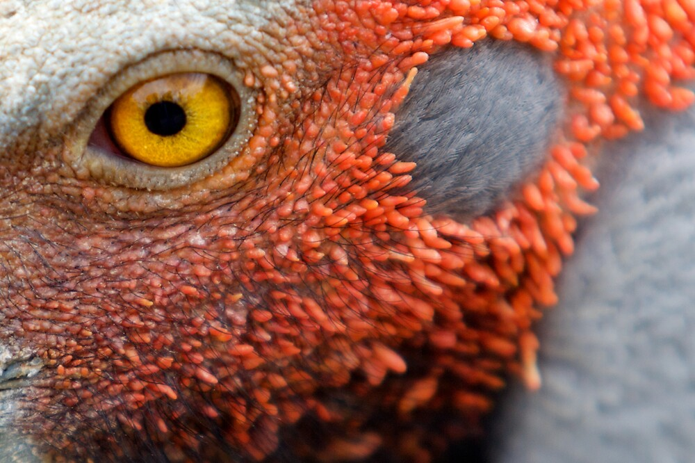Brolga Close-up by James Troi