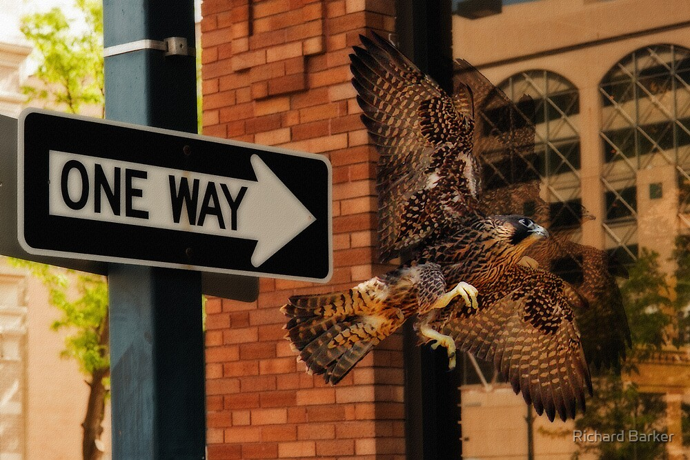 One Way Peregrine by Richard Barker